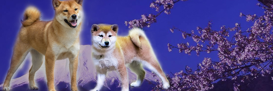 Питомник собак породы Сиба-Ину